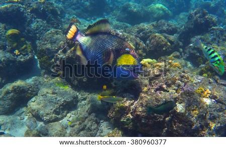 Trigger fish in coral reef, coral fish of Bali sea, snorkeling in Bali, diving in Bali, sea life of coral reef, coral reef fish, blue and yellow coral fish, big coral fish in sea, blue sea vacation - stock photo