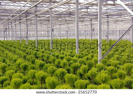 Trimmed conifer trees in a greenhouse - stock photo