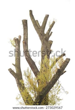 trimmed old cottonwood  tree, isolated on white background - stock photo
