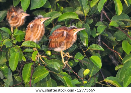 Least Bittern Stock Photos, Images, & Pictures | Shutterstock Least Bittern Baby