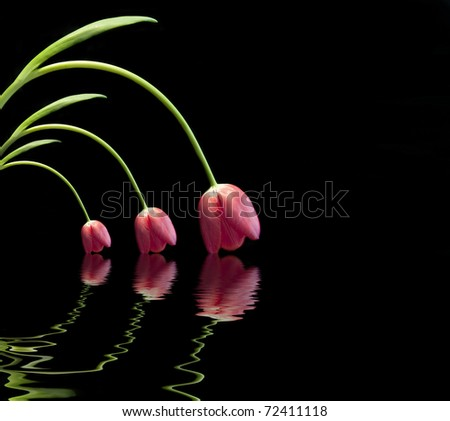 Trio of fresh spring red tulips reflected in water on black background with copy space - stock photo