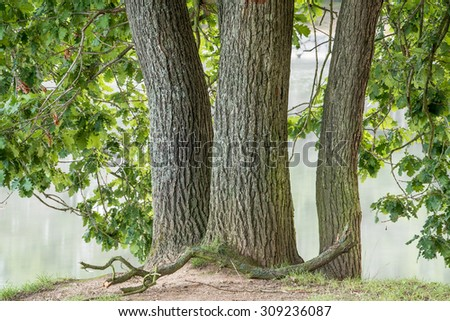 triple tree trunk in front of a foggy lake - stock photo