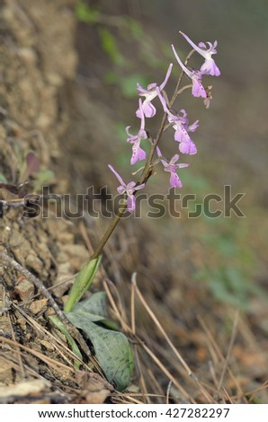 Troodos Orchid - Orchis troodiEndemic Cyprus Orchid of Pine Forests - stock photo