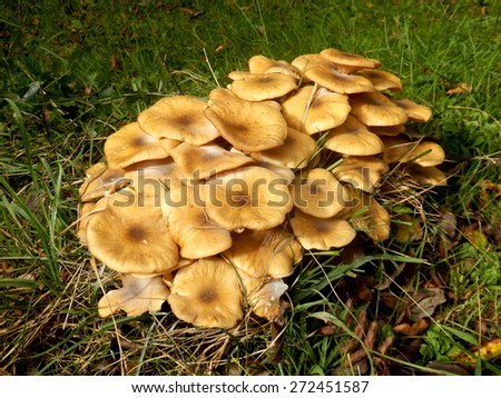 Troop of mature Honey Fungus (Armillaria mellea) growing in an orchard - stock photo