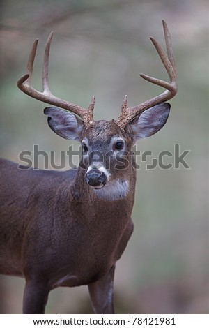 Trophy Buck Portrait, Great Smoky Mountains National Park - stock photo
