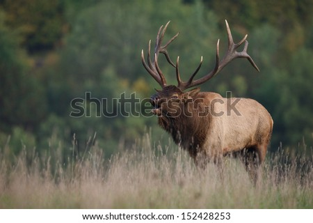 Trophy Bull Elk in western Pennsylvania bugling during the September / October rut / mating season Cervus canadensis  Pennsylvania big game elk deer bow archery hunting season - stock photo