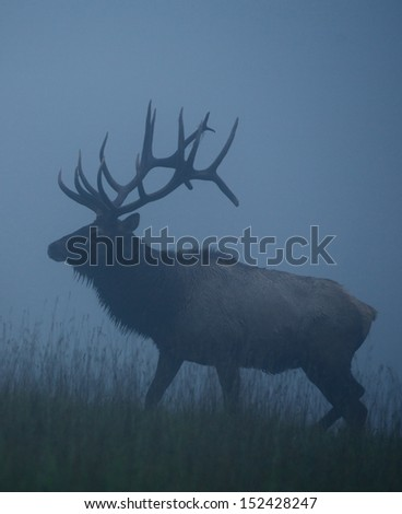 Trophy Bull Elk with huge record class antlers, in fog and mist, in western Pennsylvania near Benezette, St. Mary's Pennsylvania big game elk deer bow archery hunting season Cervus canadensis - stock photo
