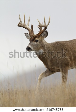 Trophy class whitetail buck deer walking thru prairie meadow broken tines / antlers Big game hunting white tailed deer with archery bow gun free range buck photographed in the wild, not in a cage - stock photo