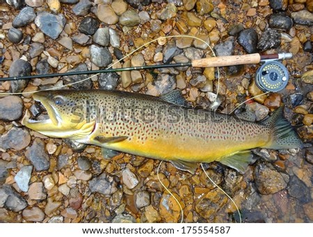 Trophy fish, rod and reel - a huge record sized Salmon related fish (salmonid) Brown Trout fish next to a fly rod prior to release - stock photo