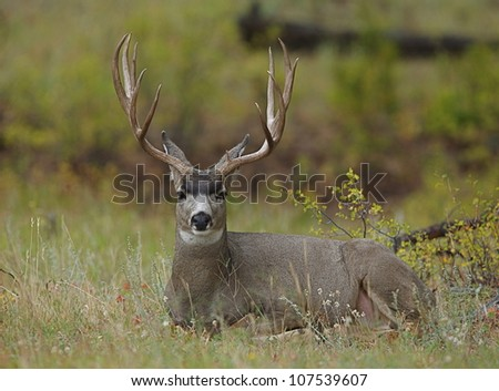 Trophy Mule Deer Buck bedded in autumn vegetation - stock photo