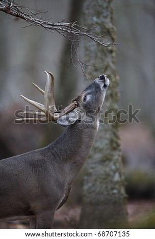 Trophy Whitetail Buck Deer at a scrape / licking branch, Great Smoky Mountains National Park, Tennessee / North Carolina.  white tail / white-tailed / white-tail / white tailed / whitetailed - stock photo