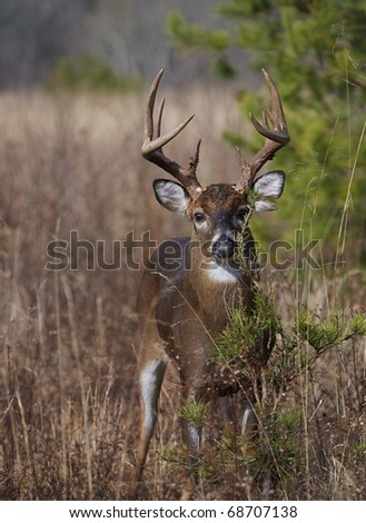 Trophy Whitetail Buck Deer in habitat, Great Smoky Mountains National Park, Tennessee / North Carolina.  white tail / white-tailed / white-tail / white tailed / whitetailed - stock photo