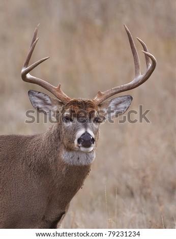 Trophy Whitetail Buck Deer Portrait - stock photo