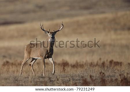 Trophy Whitetail Buck Deer walking with raised foreleg, in Palouse Prairie grasslands, Montana - stock photo