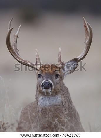 Trophy Whitetail Buck Portrait - stock photo