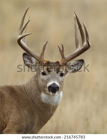 Trophy Whitetail Buck with very heavy 10 point antlers close up highly detailed portrait Big game hunting white tailed deer with archery bow gun free range buck photographed in the wild, not in a cage - stock photo