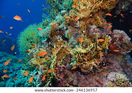 Tropical Anthias fish with corals on Red Sea reef underwater - stock photo