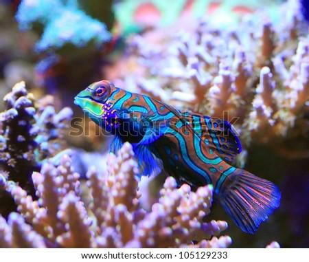 Tropical aquarium Mandarin fish, Synchiropus splendidus - stock photo