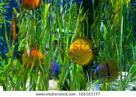 tropical  aquarium with fishes  and green water plants - stock photo