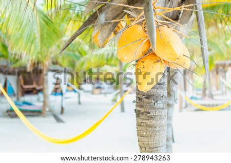 Tropical beach resort view with coconuts hanging on a palm tree and hammocks and beach beds on the background on Holbox island in the Caribbean - stock photo