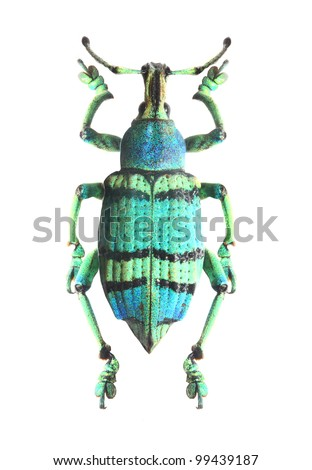 Tropical beetle (Curculionoidae). - stock photo