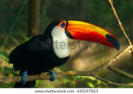 Tropical bird Toucan is sitting on the branch of tree. Jungles of South America. Ramphastos toco. - stock photo