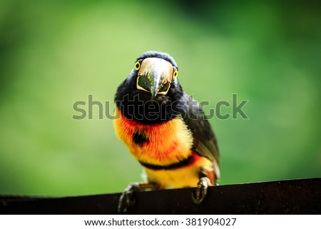 Tropical, bird, tucan, wild, toucan, wildlife, wreck, green-billed red-breasted toucan, Ramphastos dicolorus, eating, fruit, jungle, nature, close up, - stock photo
