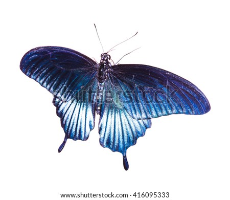 Tropical blue and black - butterfly isolated on white background - stock photo