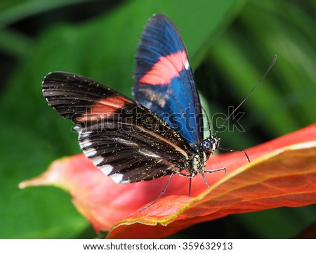 Tropical Butterfly on a Red Antherium Plant - stock photo