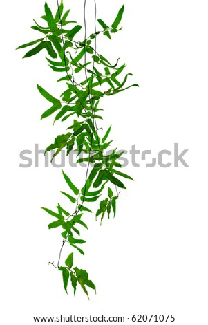Tropical creeper plants hanging on white background - stock photo