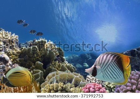Tropical Fish and Coral Reef, Red Sea, Egypt. - stock photo
