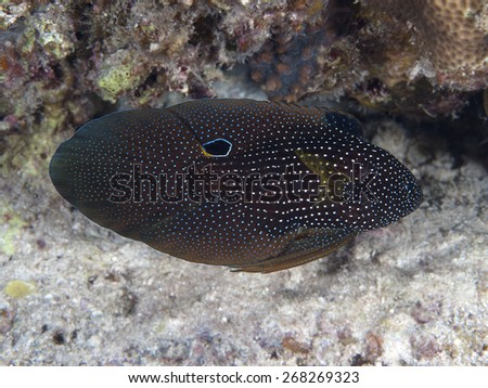Tropical fish cometfish in red sea - stock photo