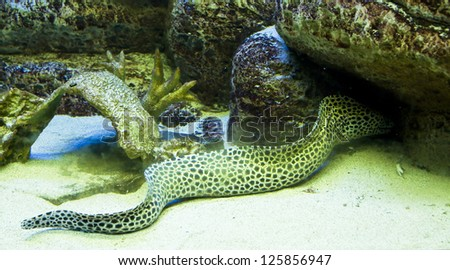 Tropical fish Dragon moray eel, latin name Murena helena, recorded in aquarium. - stock photo