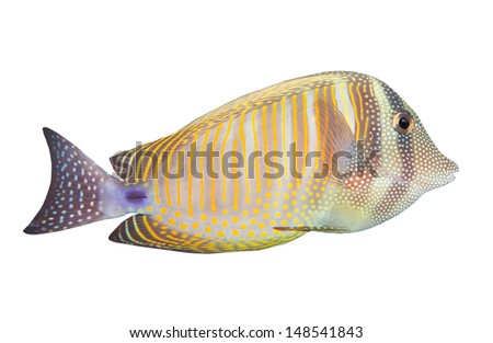 Tropical fish isolated on a white background. The Desjardin's Sailfin Tang (Zebrasoma Desjardini). - stock photo