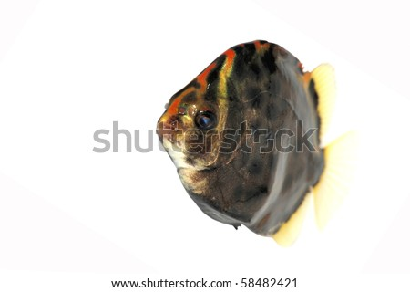 tropical fish isolated on white - stock photo