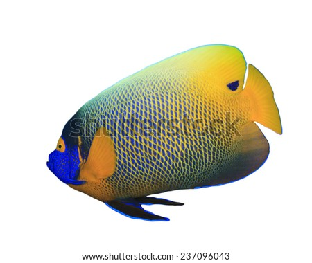 Tropical Fish isolated on white background: Blue-cheeked Angelfish - stock photo