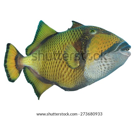 Tropical Fish isolated on white background: Titan Triggerfish - stock photo