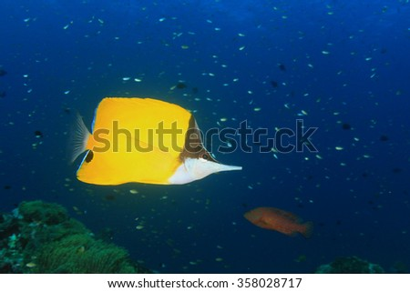 Tropical fish: Longnose Butterflyfish - stock photo
