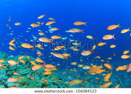 Tropical fish on Coral Reef: Lyretail Anthias in the Red Sea - stock photo