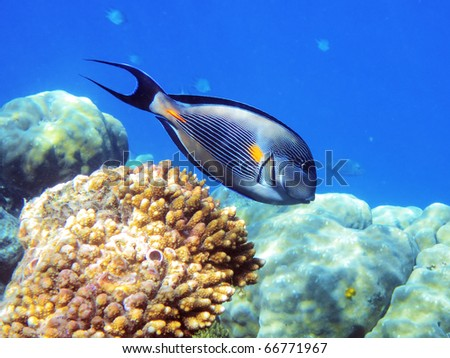 Tropical fish on the coral reef in Red Sea, Egypt - stock photo