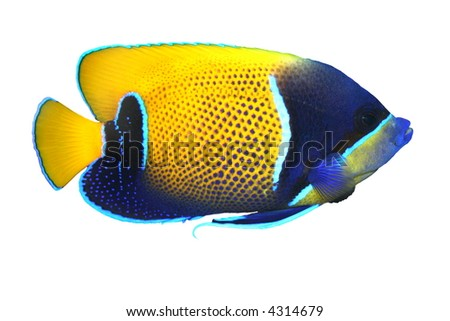 Tropical Fish Pomacanthus navarchus isolated on white - stock photo