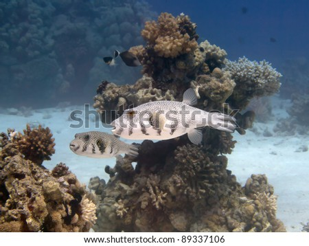 Tropical fish Reticulated puffer - stock photo