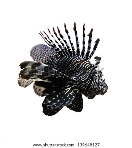Tropical fish - The Lionfish (Pterois volitans)on isolated background  it is very dangerous coral reef fish. Lionfish venomous dorsal spines are used for defense. - stock photo