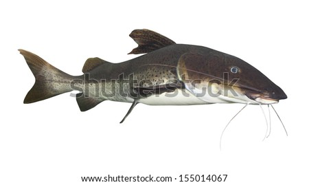 Tropical fish. The Marbled Catfish (Sciades marmoratus). - stock photo