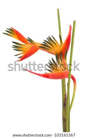 Tropical flower Bird of Paradise, isolated on white background - stock photo