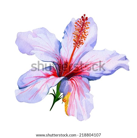 tropical flower isolated on white. hibiscus, watercolor - stock photo