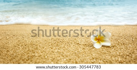 Tropical flower Plumeria alba (White Frangipani) on sandy beach - stock photo