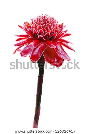 Tropical flower red torch ginger (Etlingera elatior or zingiberaceae), on white background - stock photo
