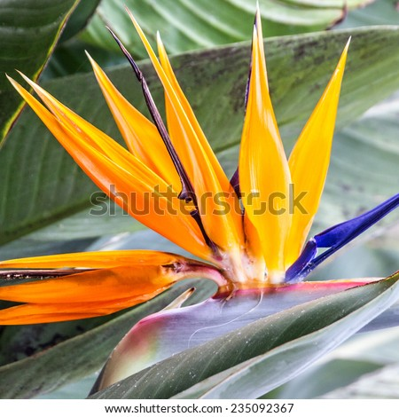 Tropical flower strelitzia, bird of paradise, Madeira island, Funchal, Portugal - stock photo