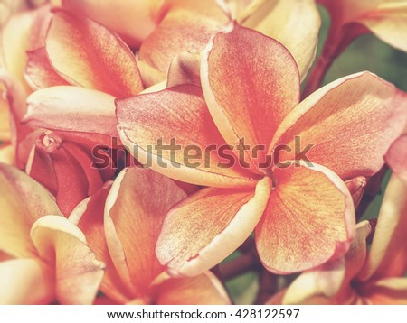 tropical flowers frangipani (plumeria) (Vintage filter effect used) - stock photo